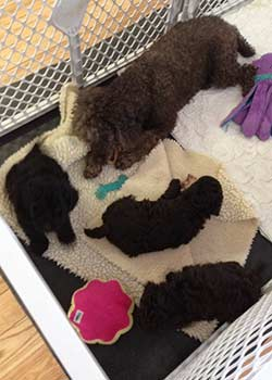 Puppies 6 weeks old, 11-5-13,   Mama & babies sharing time  chewing on raw bones !!