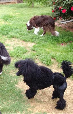 TC cut out in her big girl hair cut... playing with her border collie friends!!!