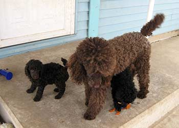 DiMarnique's Miniature Poodles