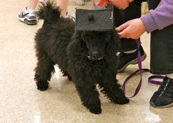 Zoe...graduating from puppy class!